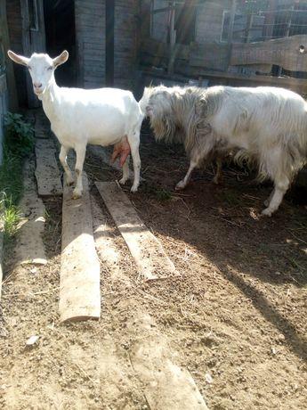 Козья фермочка,погул коз