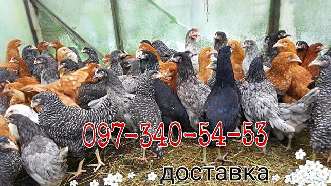 Курочки несушки Бройлер цыплята Доминант курочки Серебристые Адлер
