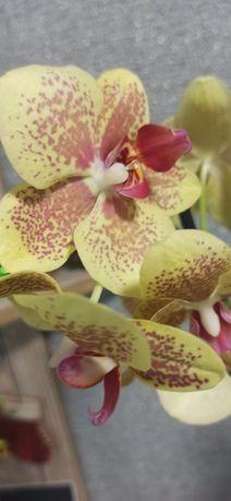 """Орхидея """"пульсация"""" из домашней коллекции"""