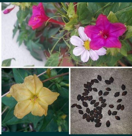 Dziwaczek jalapa peruwiański Kwiaty 50 szt nasion
