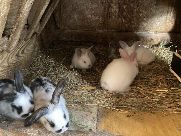 Młode króliki na sprzedaż