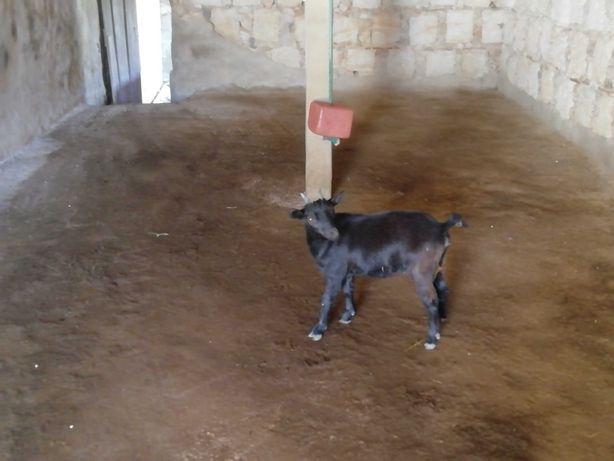 Cabra anã preta com 6 meses