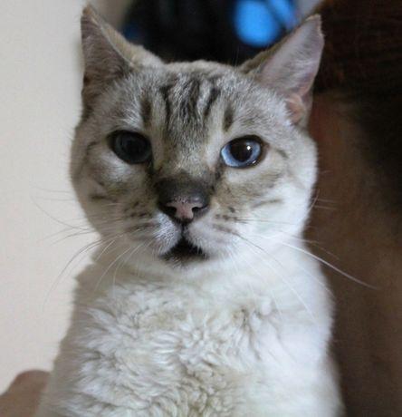 Кошка голубые глазки 4 года.Кошечка.Кот.