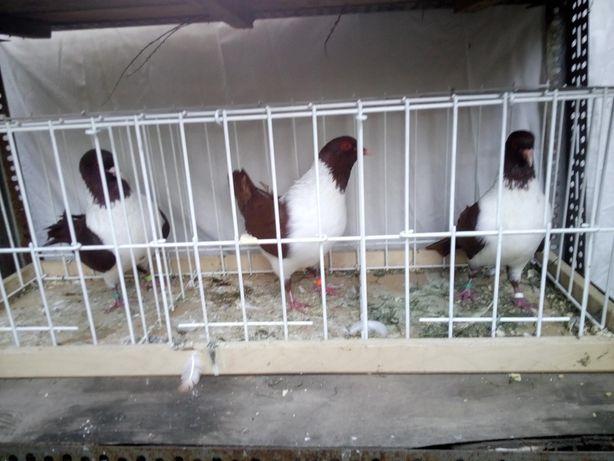 Strasery czerwone samce sztrasery gołębie ozdobne