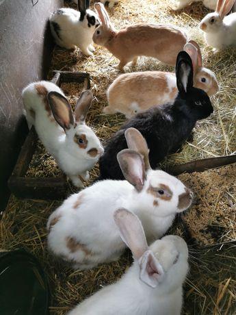 Tuszka (tuszki) z królika