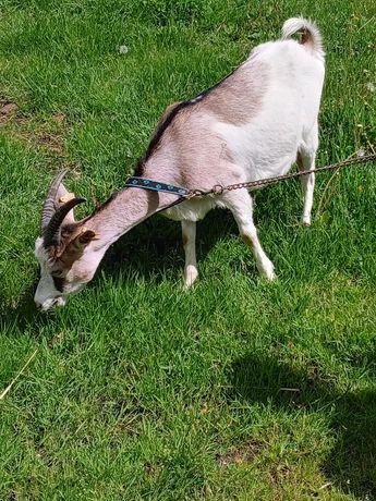 Koza po pierwszym wykocie