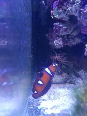 Coris formosa akwarium morskie