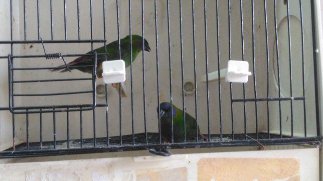 Diamantes papagaio e tricolor
