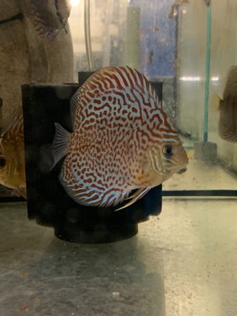 Discus paletka red turquise
