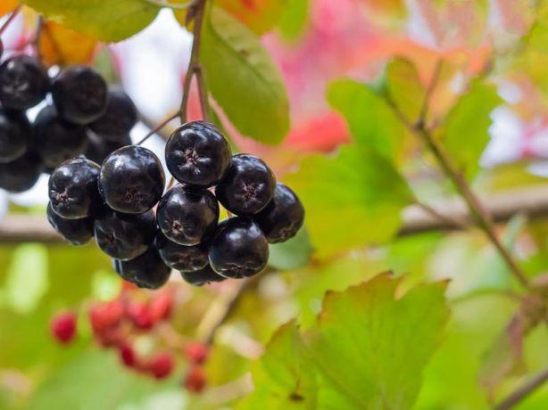 Czarna aronia - swieze owoce -Eko