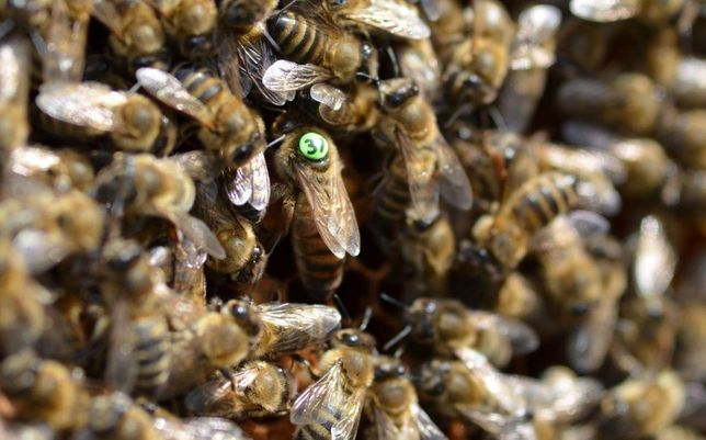Плодные, меченые. Пчеломатки. С 26 мая. Apis mellifera Сarpatica.
