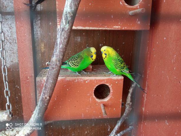 Papużki faliste!!!
