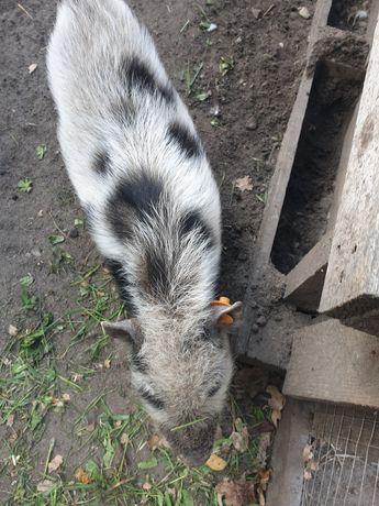 Mikro świnka rasy getynska