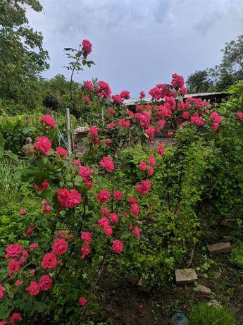 Роза вьющаяся плетистая