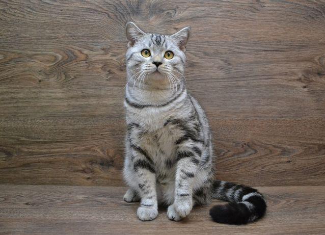 И3умительный, роскошный скоттиш страйт. Котята