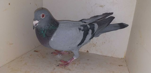 Gołębie pocztowe janssen De Laat