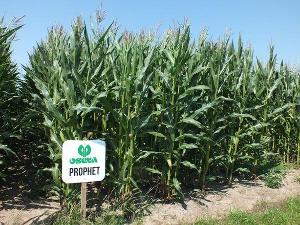 Nasiona kukurydzy kukurydza PROPHET kiszonka ziarno FAO 230 240