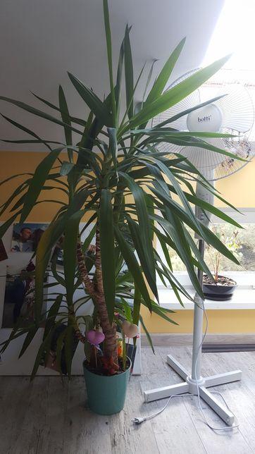 Kwiat juka jucca yucca 150 cm