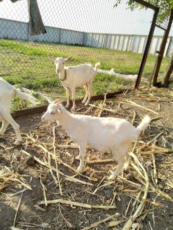 Продам коз не дорого