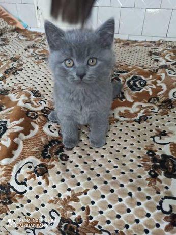 Продам шотланських кошенят