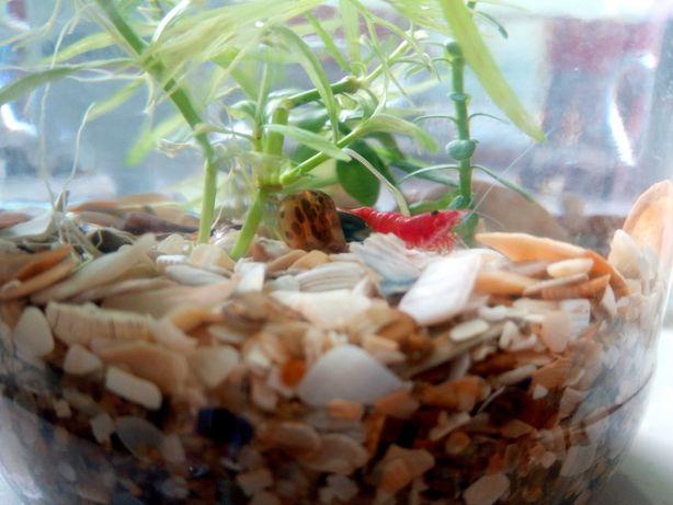 Аква растения, Креветки Синие, красная сакура, пецилии блю , меченосец