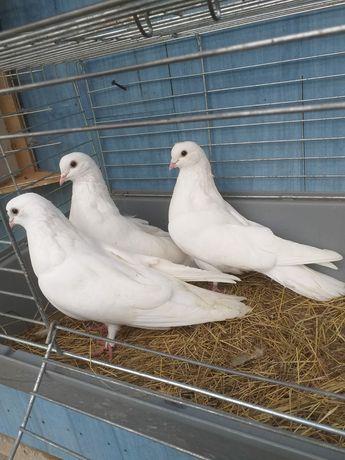 Orliki lubelskie białe