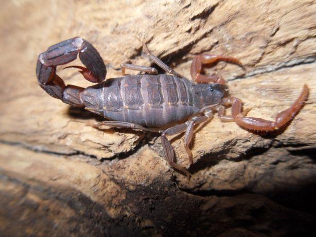 Скорпионы Lychas tricarinatus L2, L3,L4
