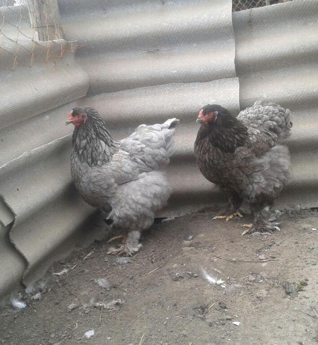Инкубационное яйцо от кур породы Брама голубая