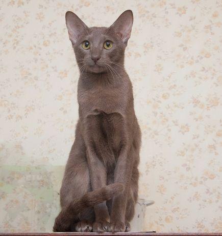 Пропала ориентальная породистая кошка. ВОЗНАГРАЖДЕНИЕ!