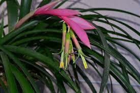 Цветок Бильбергия или слезы королевы .