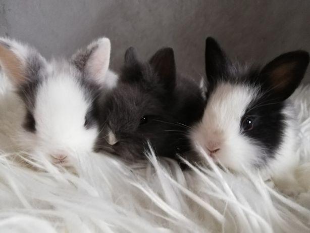 Karzełek Teddy Królik miniaturka króliki miniaturki
