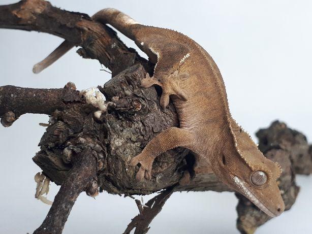 Gekon orzęsiony buckskin samica