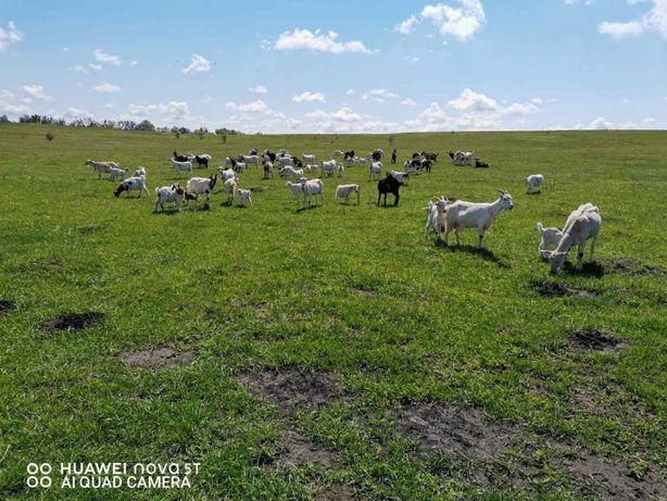 Продам дойных коз, продаются козы разных пород, коза Зааненская