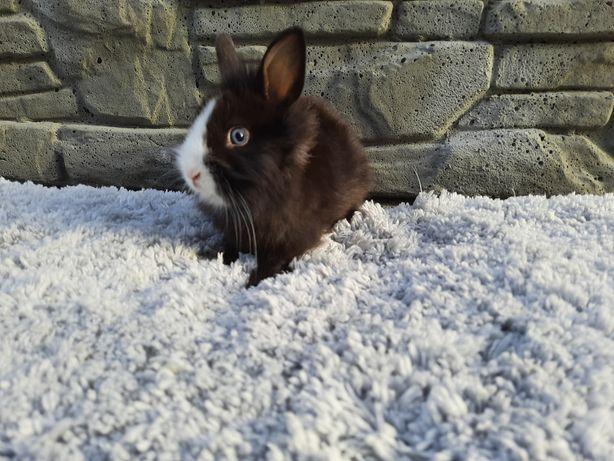 Karzełek Teddy, królik karzełek teddy