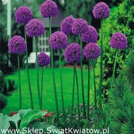 Cebulki czosnek ozdobny fioletowy