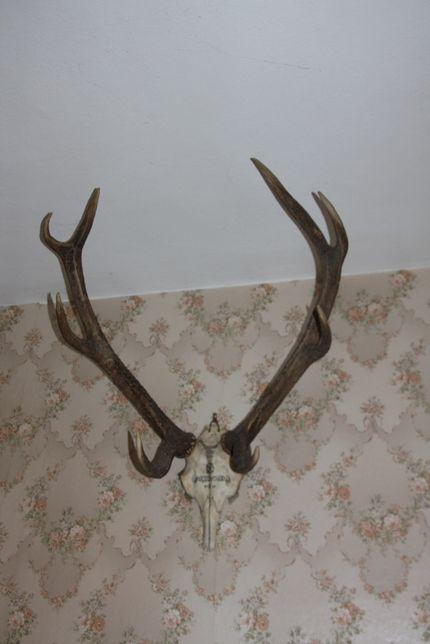 Rogi Jelenia - ponad 1 m rozpiętości Międzychód 1956