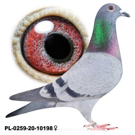 Młode 2021 Para 46 Bula-Latacz Best x Olimpia gołąb gołębie pocztowe