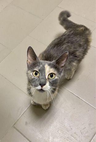 Спасите жизнь. Трехцветная стерилизованая кошка в добрые руки.