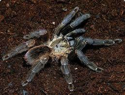 Паук Psalmopoeus reduncus 2.5 см самка