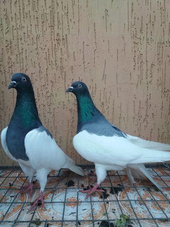 Продам голуби можени