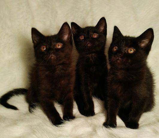 Породистые Британские плюшевые котята 3 мес.