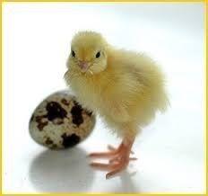 Яйцо перепелиное Инкубационное