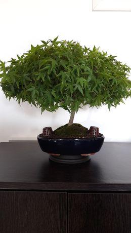 Bonsai  4x1 PROMOÇÃO