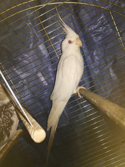 Белый попугай карелла. Альбинос. Самец. Павленко - изображение 1