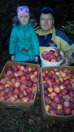 Продам яблоко домашнее (Флорина)