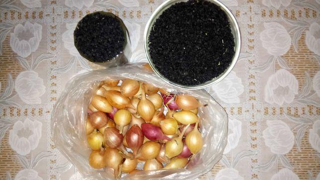 Чернушка семена цыбули лук репчатый цибуля