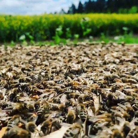 Первый вывод. Carnica Скленар (Sklenar) 47/G/10. Пчелиные матки