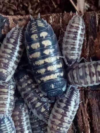 Krewetki lądowe - isopody Porcellio ornatus