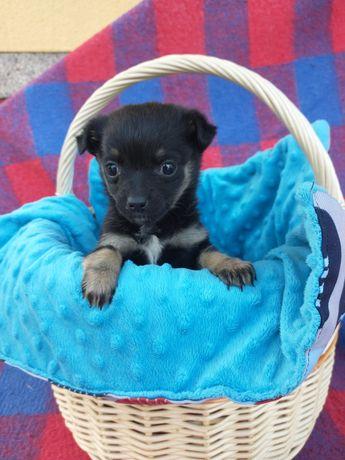 Chihuahua oddam za darmo