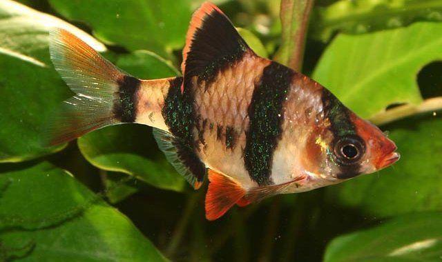 ryby akwariowe-brzanka sumatrzańska